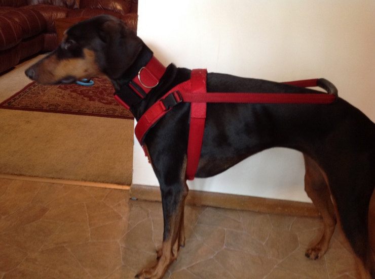 Jetta: a Doberman standing in a red guide dog harness.